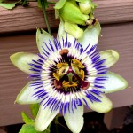 Passion Flower at David Byrd Home